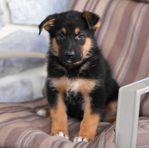 Extra Charming German Shepherd Puppies Available For Sale