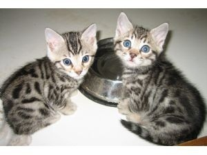 Lovely Male And Female Bengal Kitten For Sale Now Ready To Go Home.