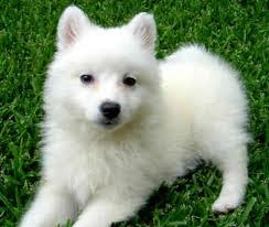 Cute American Eskimo Puppies for adoption .