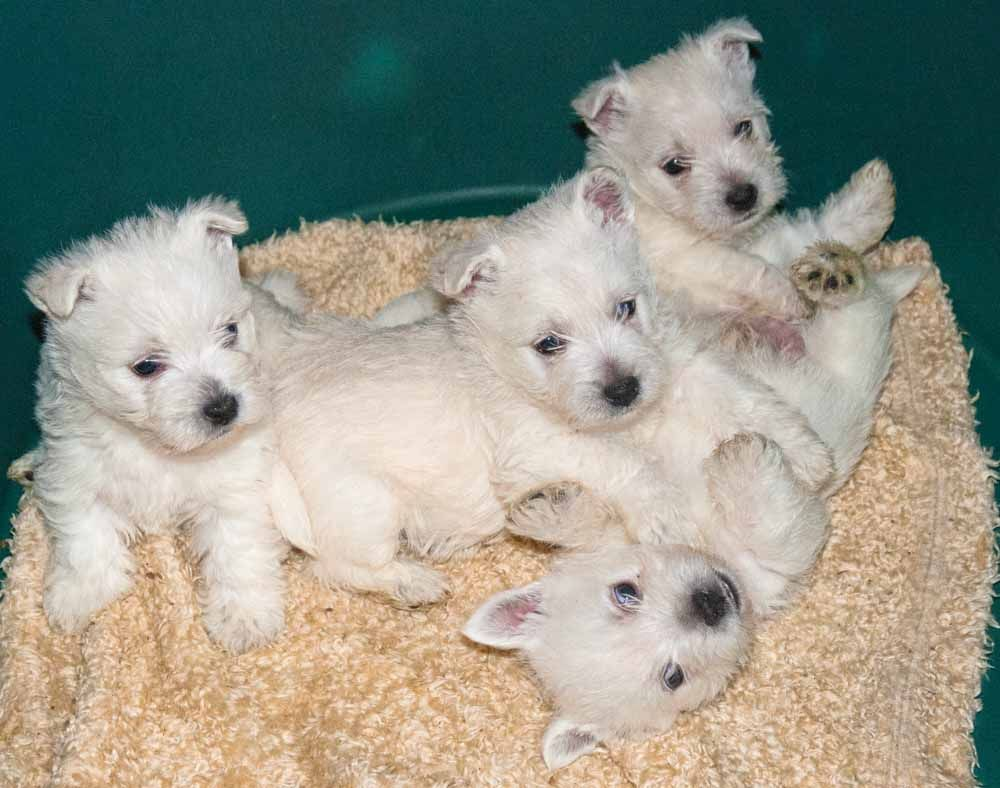 Stunning Westies Pups Ready Now