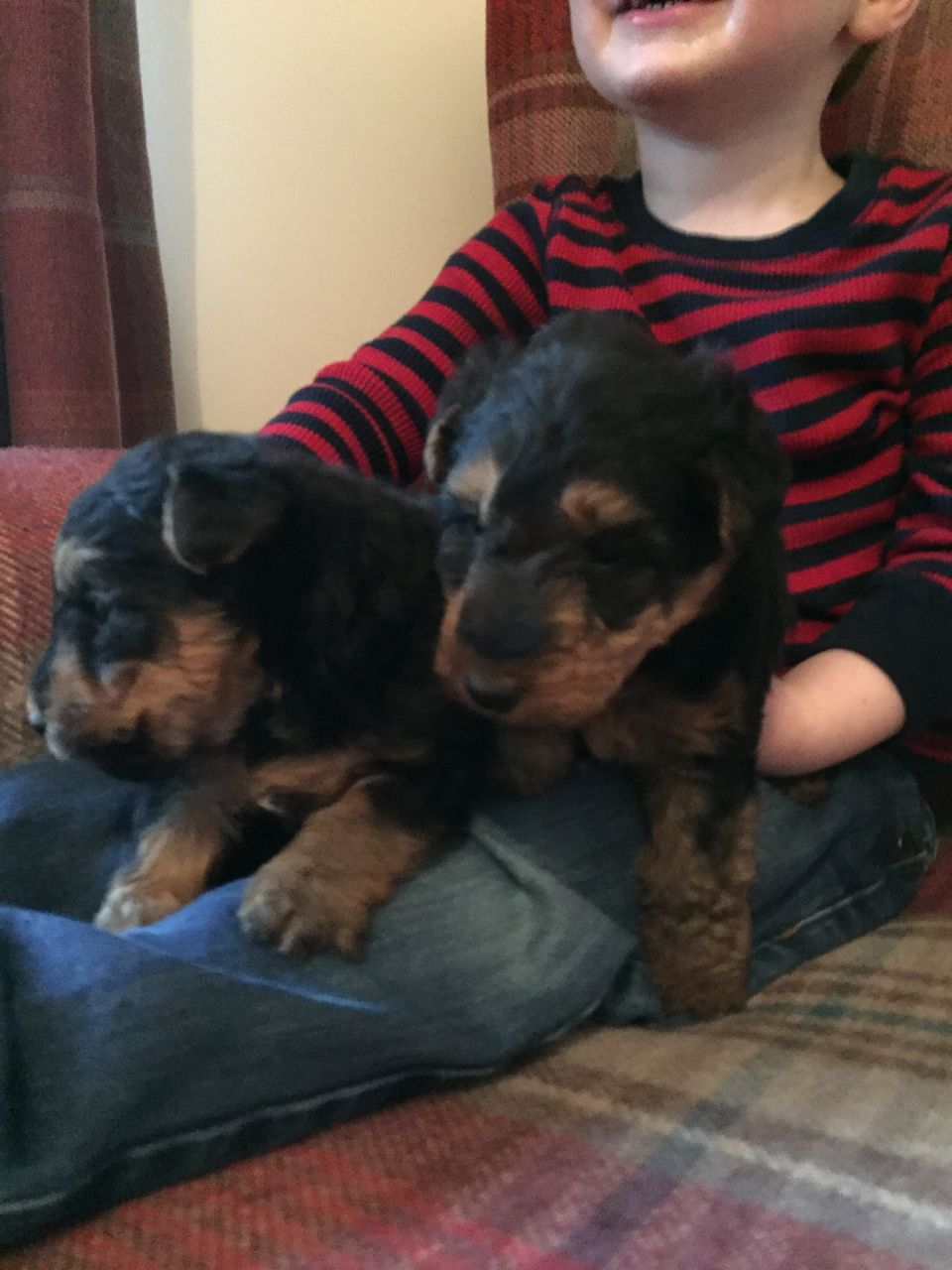 Welsh Terrier Puppies For Sale