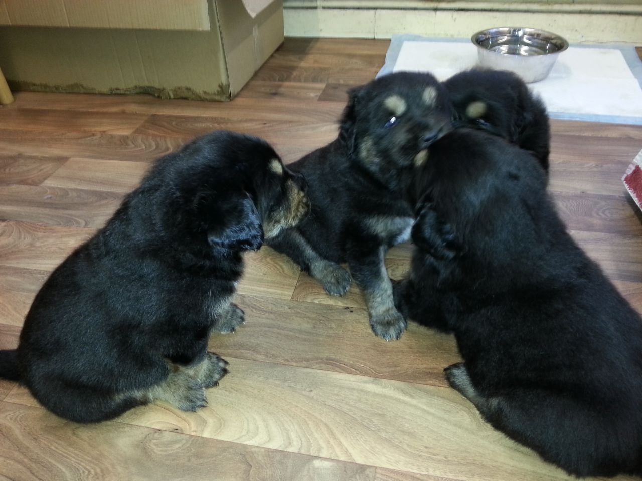 Beautiful Chunky Tibetan Mastiff Puppies For Sale