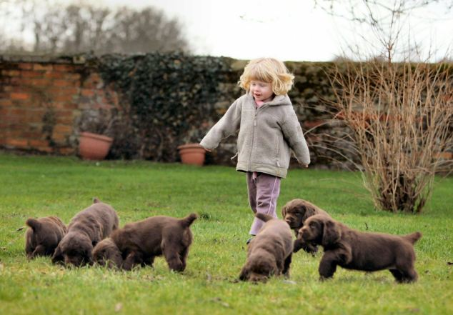 Beautiful Chunky Sussex Spaniel Puppies For Sale