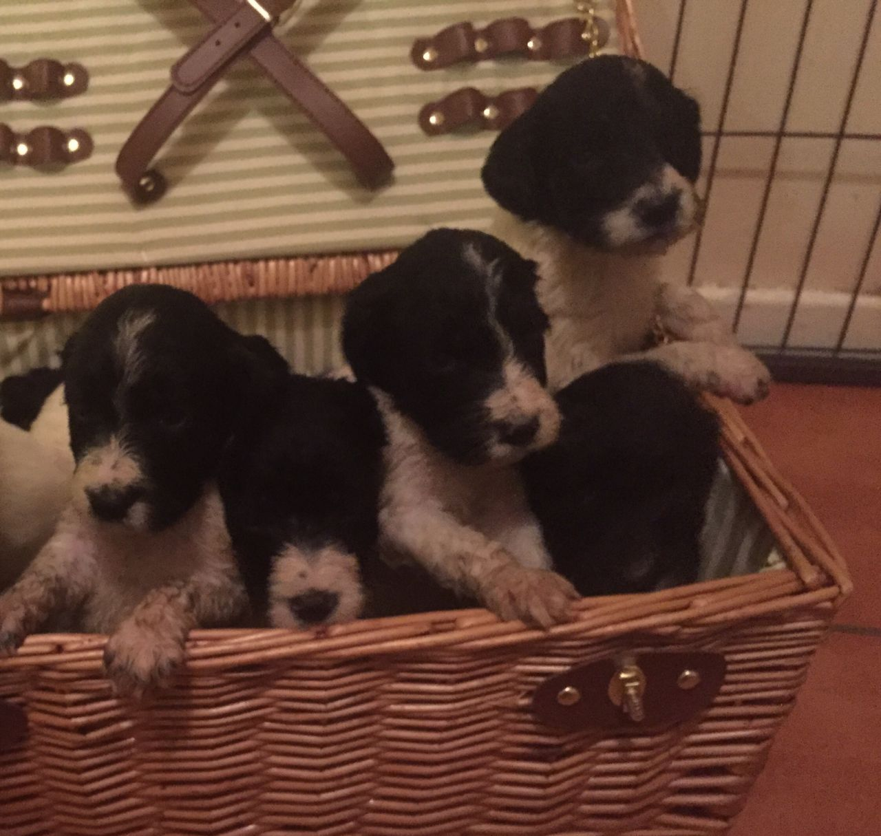 Sproodle Puppies Looking for a Home this Val′s Day