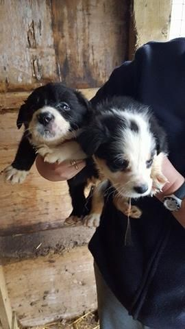 Collie Sheepdog Puppies for sale