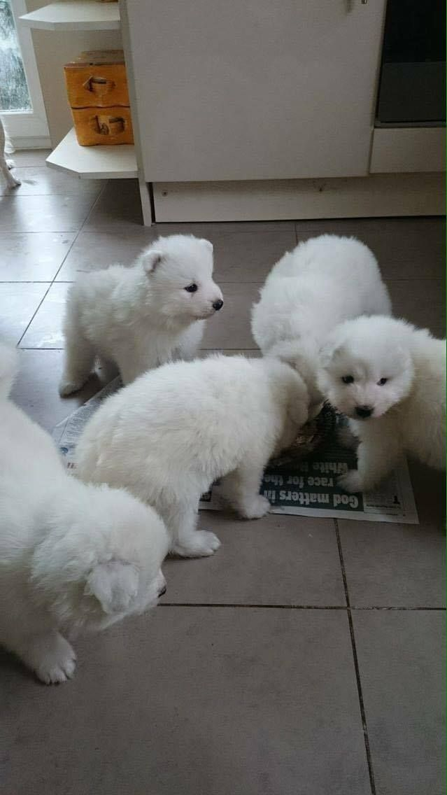 Beautiful Samoyed Puppy Looking For Forever Home