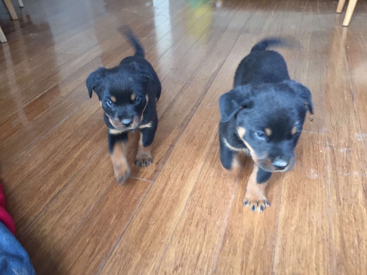 4 Chunky Female and male Rottweiler Puppies Ready Now