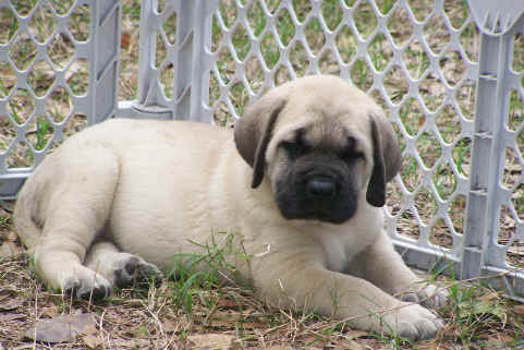 Pyrenean Mastiff Dog Puppies For Sale