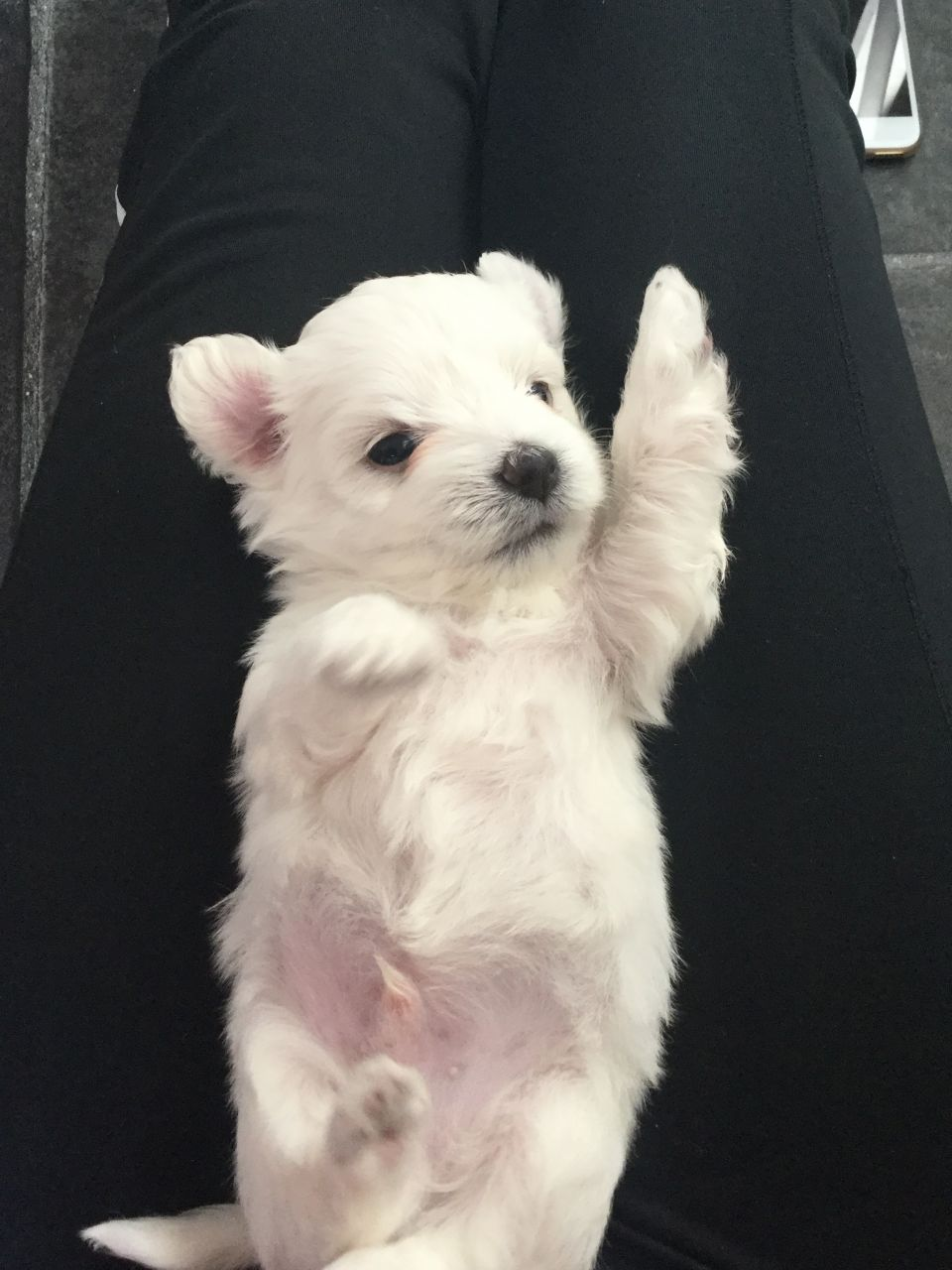 Beautiful and Adorable Maltese Puppies For Sale