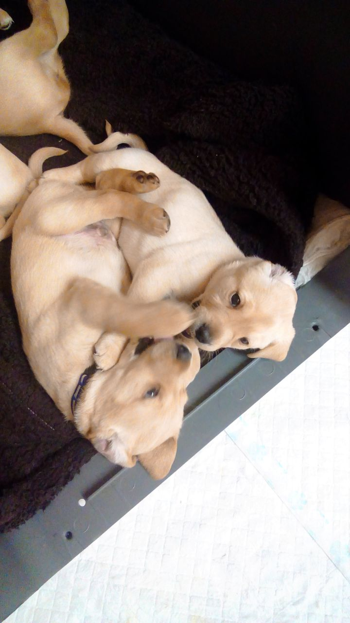 Beautiful Labrador Puppies Puppies For Sale