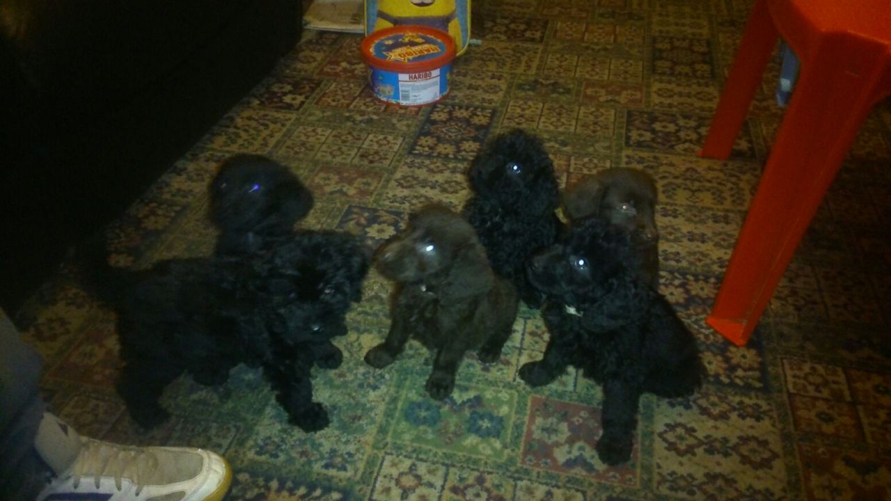 Only 6 Beautiful Labradoodle Puppies Left For Sale