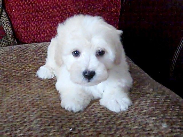 Stunning Pure Havanese Puppies for sale