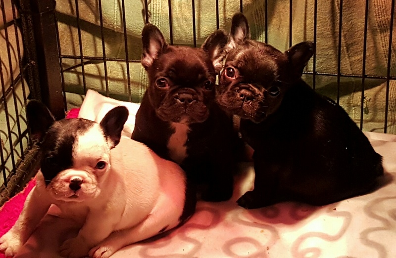 Adorable French Bulldog Pupppies for sale