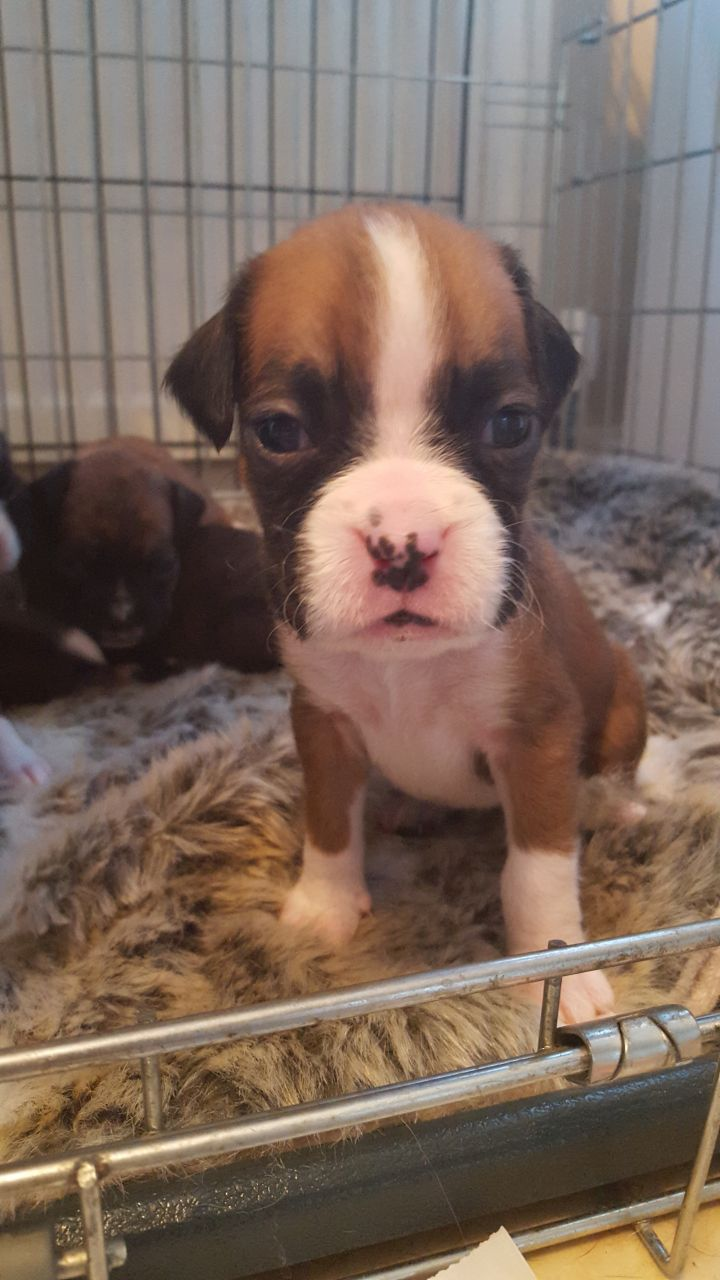Boxer Puppies Kc Registered - 3 Gorgeous