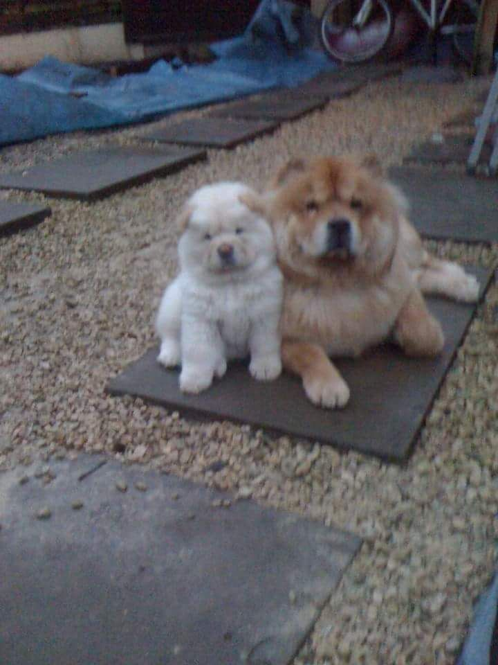 K.c. Registered Chow Chows Fully Vaccinated