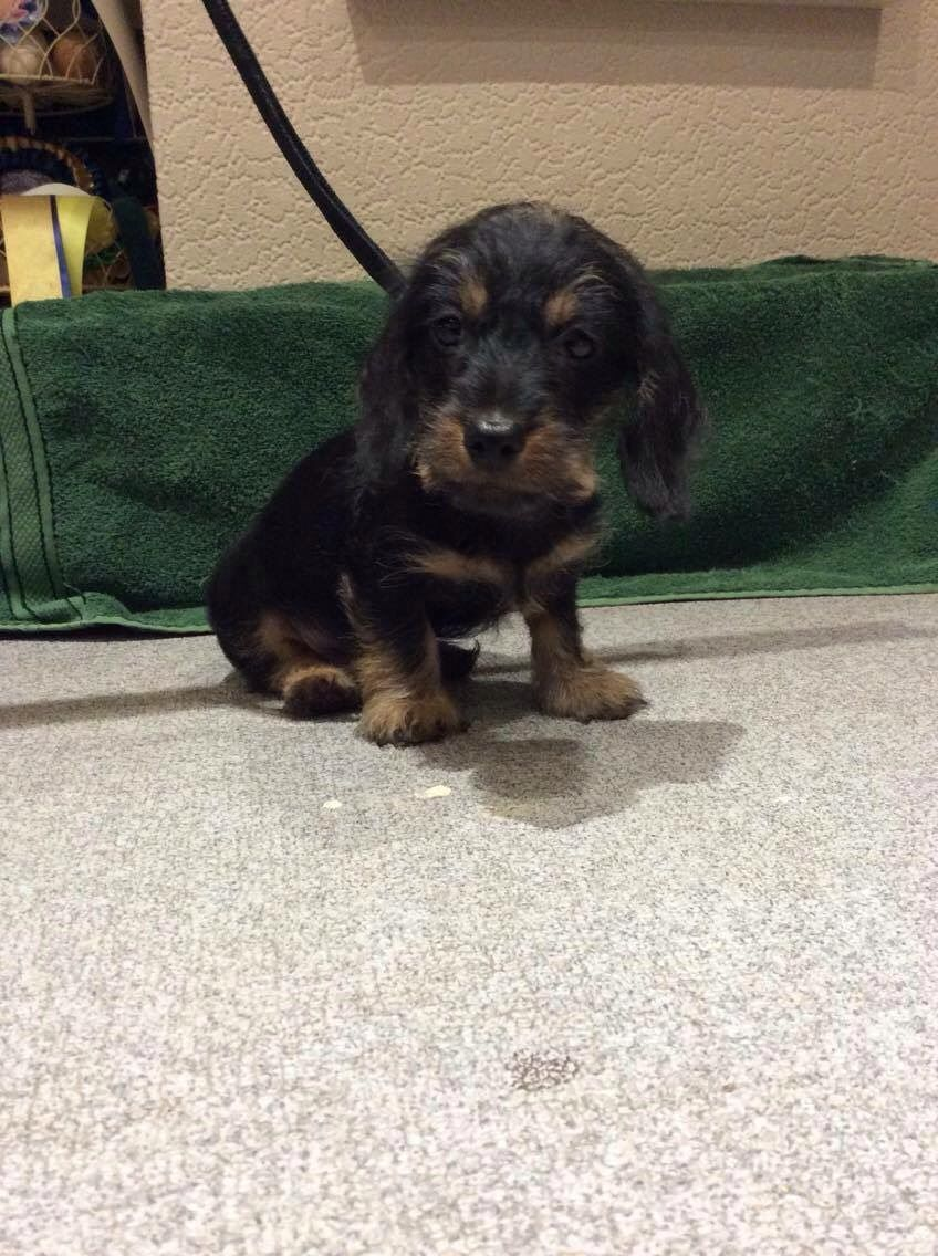 Stunning Dachshunds Puppies for sale