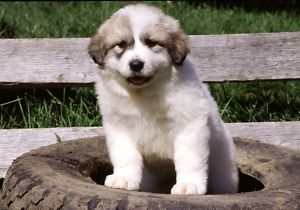 Great Pyrenees :Puppies