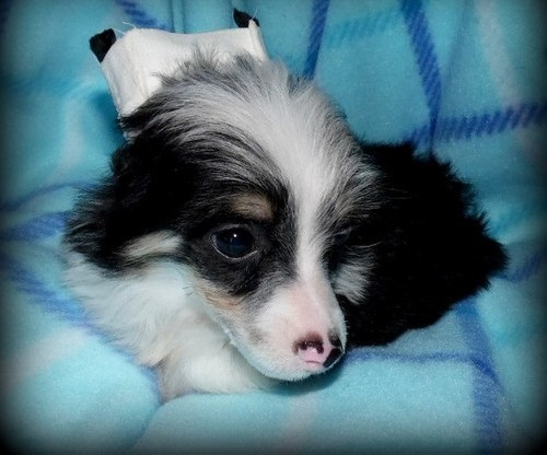 Male and female Chinese Crested Puppies for sale contact now to get them