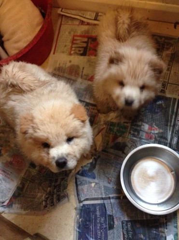 Two Chow Pups For Sale