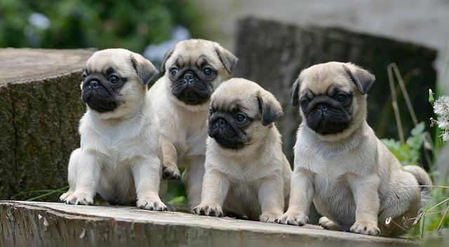 PUG PUPPIES FOR FREE ADOPTION
