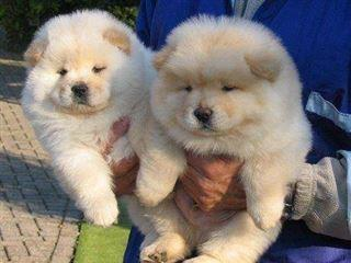 Potty Trained Chow Chow puppies