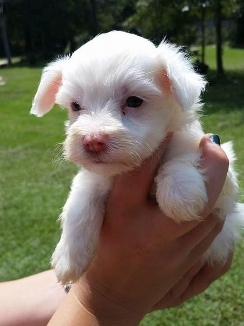 Beautiful Maltese Ready for a new family