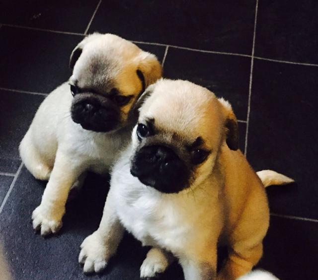 pug puppy available for new homes