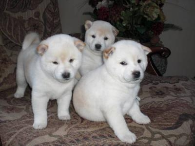 Cute male and female Akita puppies