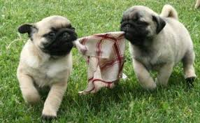 Amazing Pug puppies for adoption