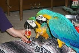 Beautiful Blue and Gold Macaws Parrots