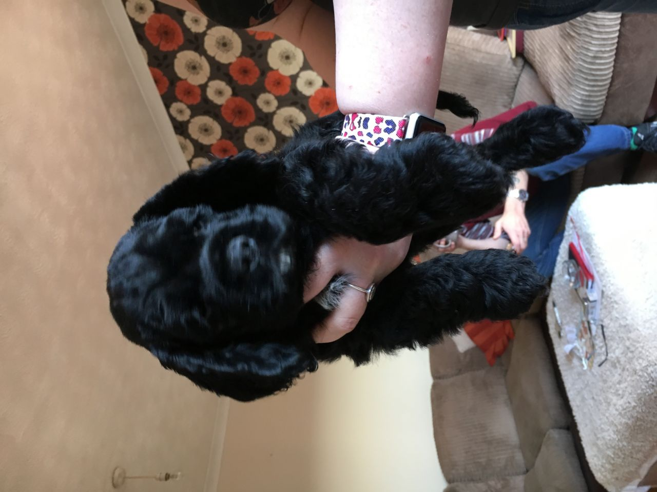 American Cocker Spaniels Puppies Available