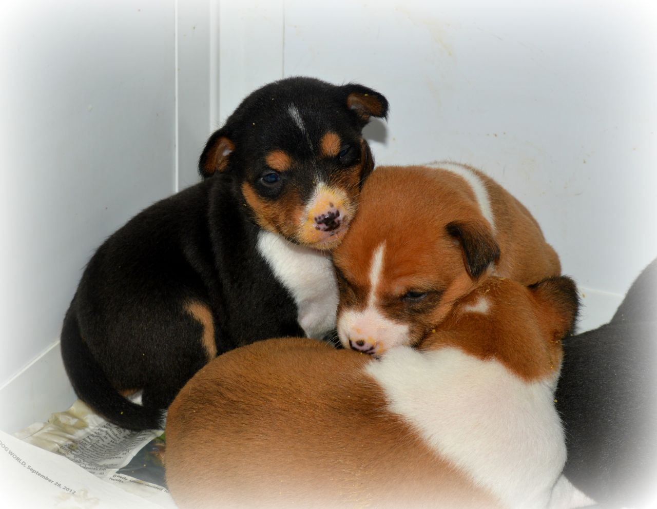 Registered Basenji Puppies for sale