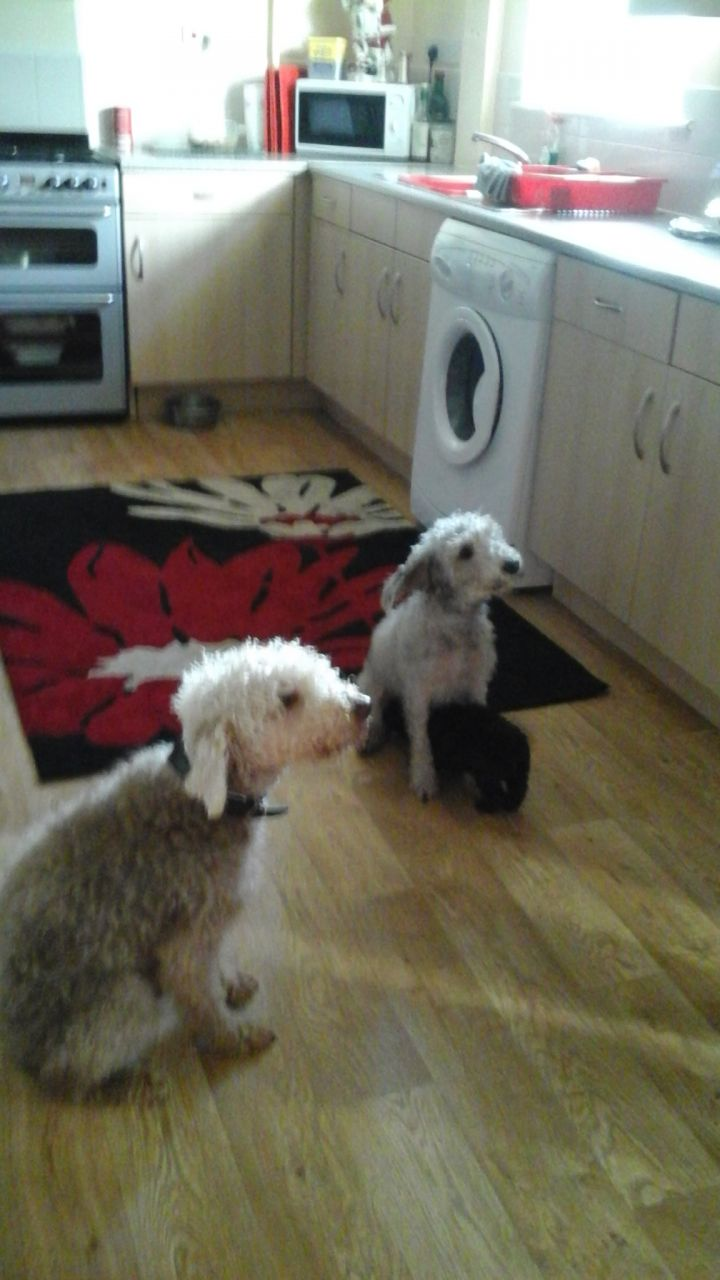 Beautiful Bedlington Puppies For Sale