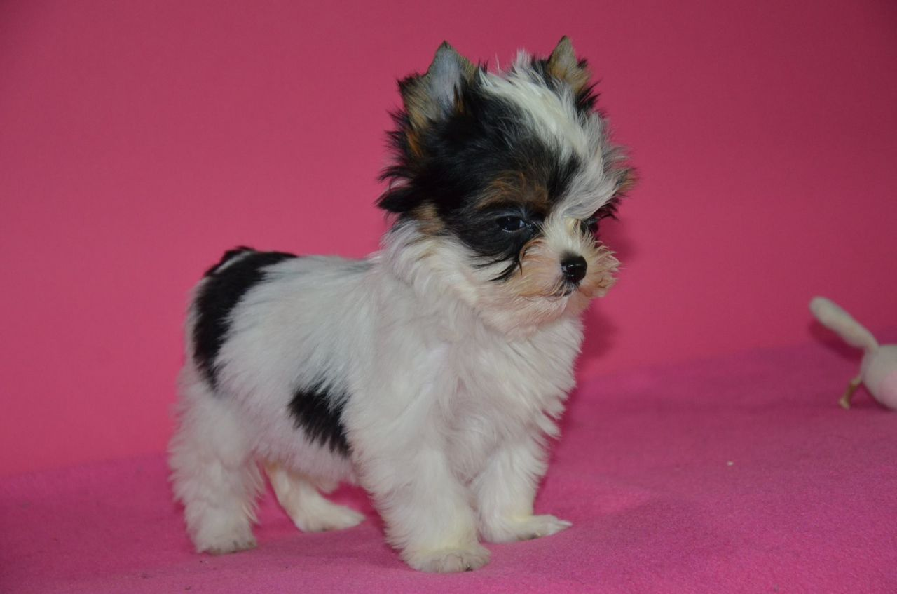 Beautiful Tea Cup Biewer Yorkshire Terrier Puppies