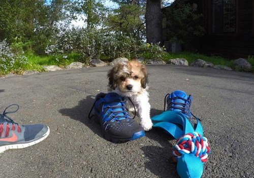 Healthy cavachon puppies for good family