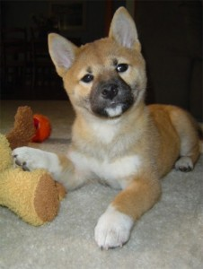 Lovely Shiba Inu puppies for sale
