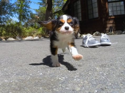 Female Cavalier Puppy available for adoption