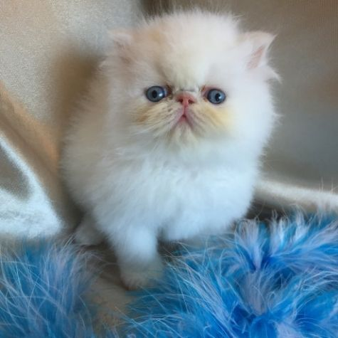 Beautiful Teacup White Persian Kittens Female!!
