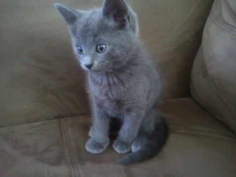 Russian blue kittens for good homes
