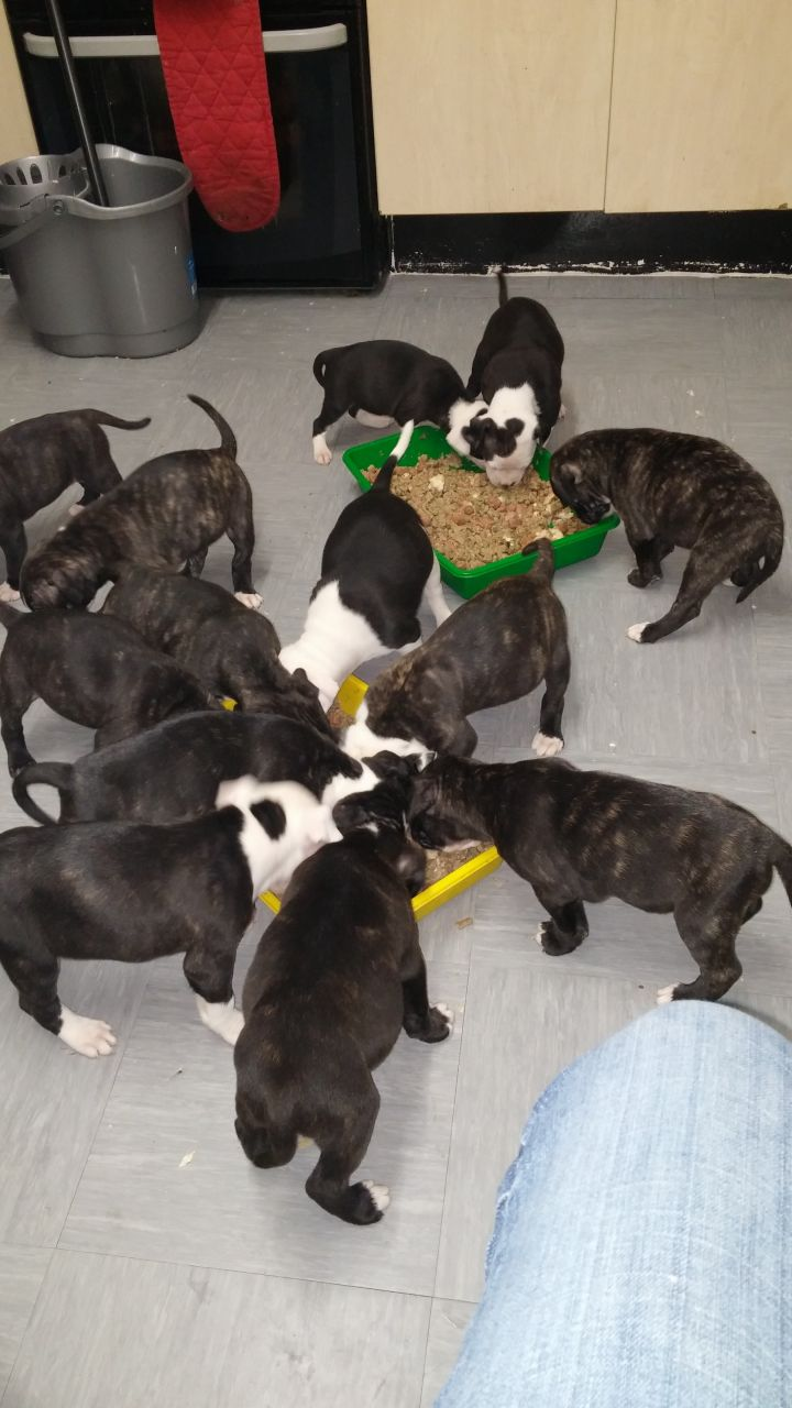 American Bulldog Puppies For Sale This Christmas