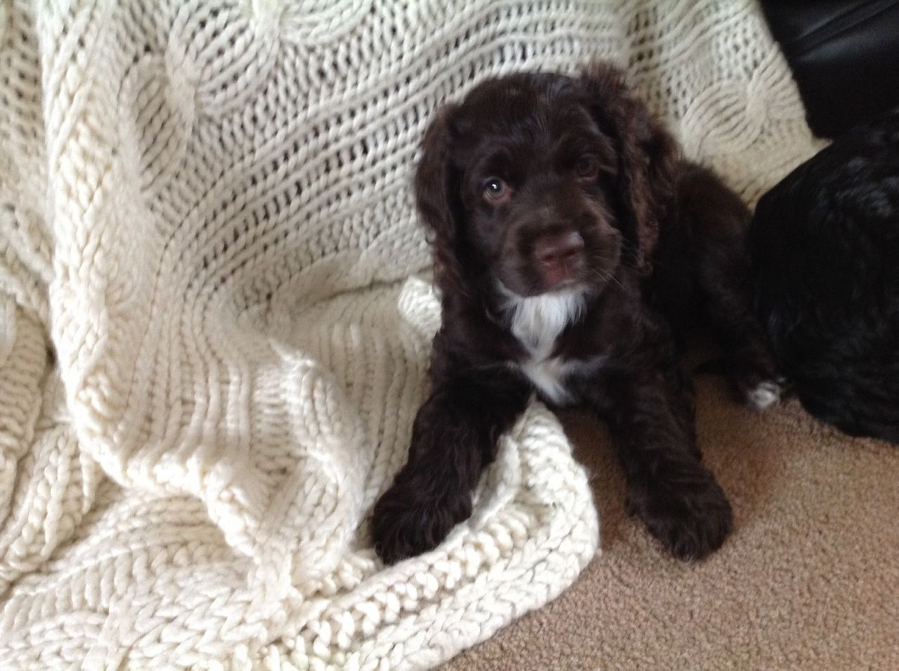 American Cocker Spaniel Puppies available