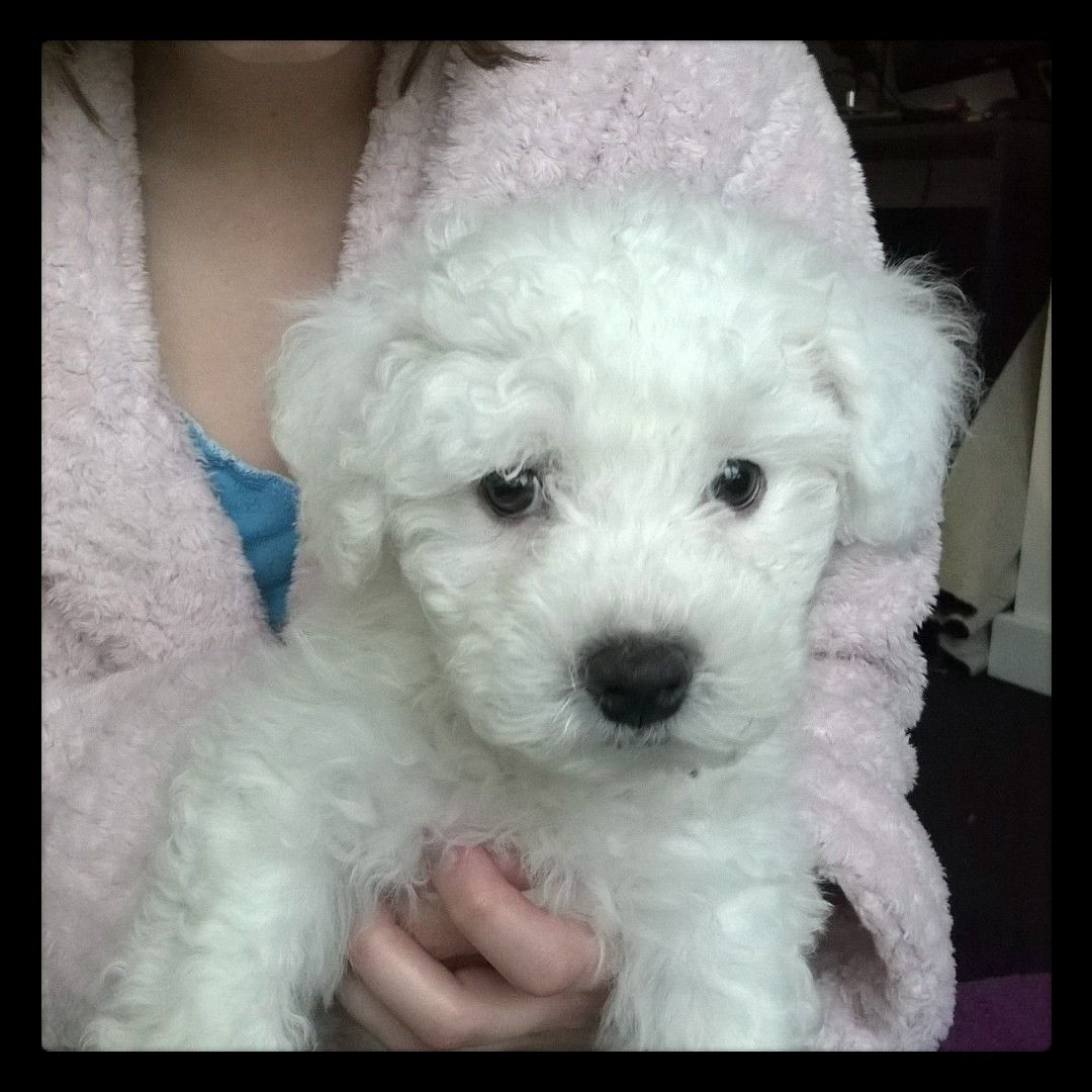 Beautiful Full Kc Registered Bichon Frise Puppies