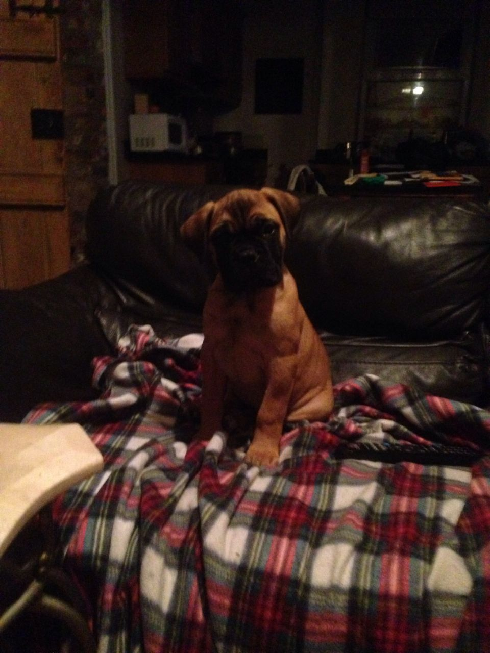 Beautiful Kc Reg Bullmastiffs puppies for Christmas