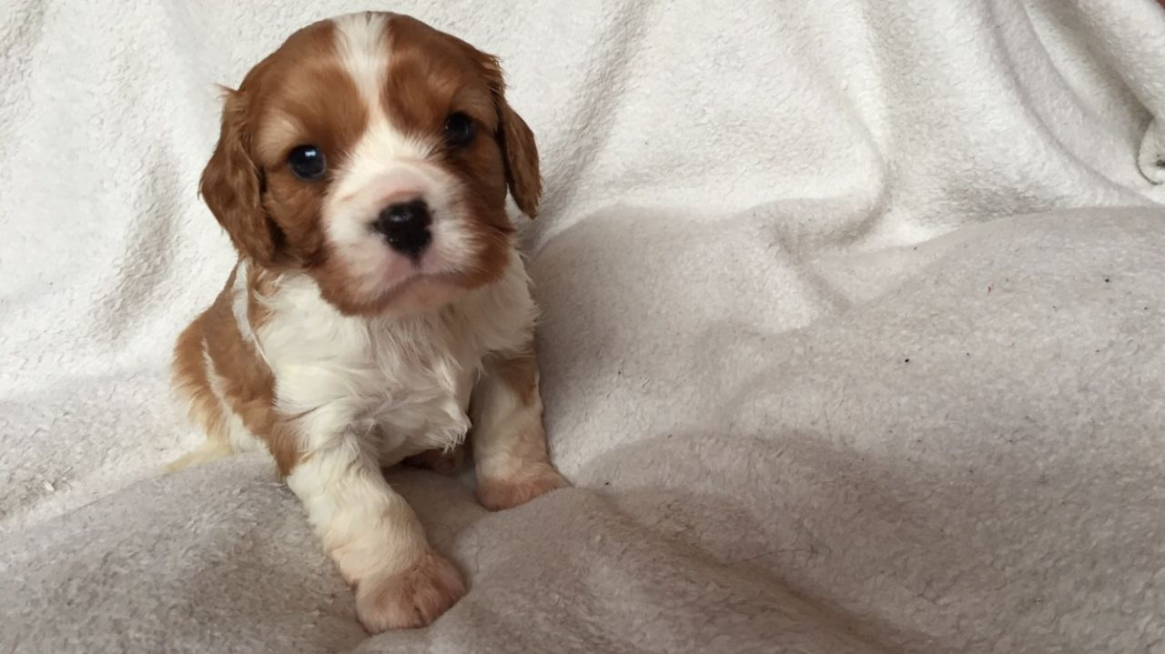 Cavalier King Charls Spaniel Puppies This Christmas