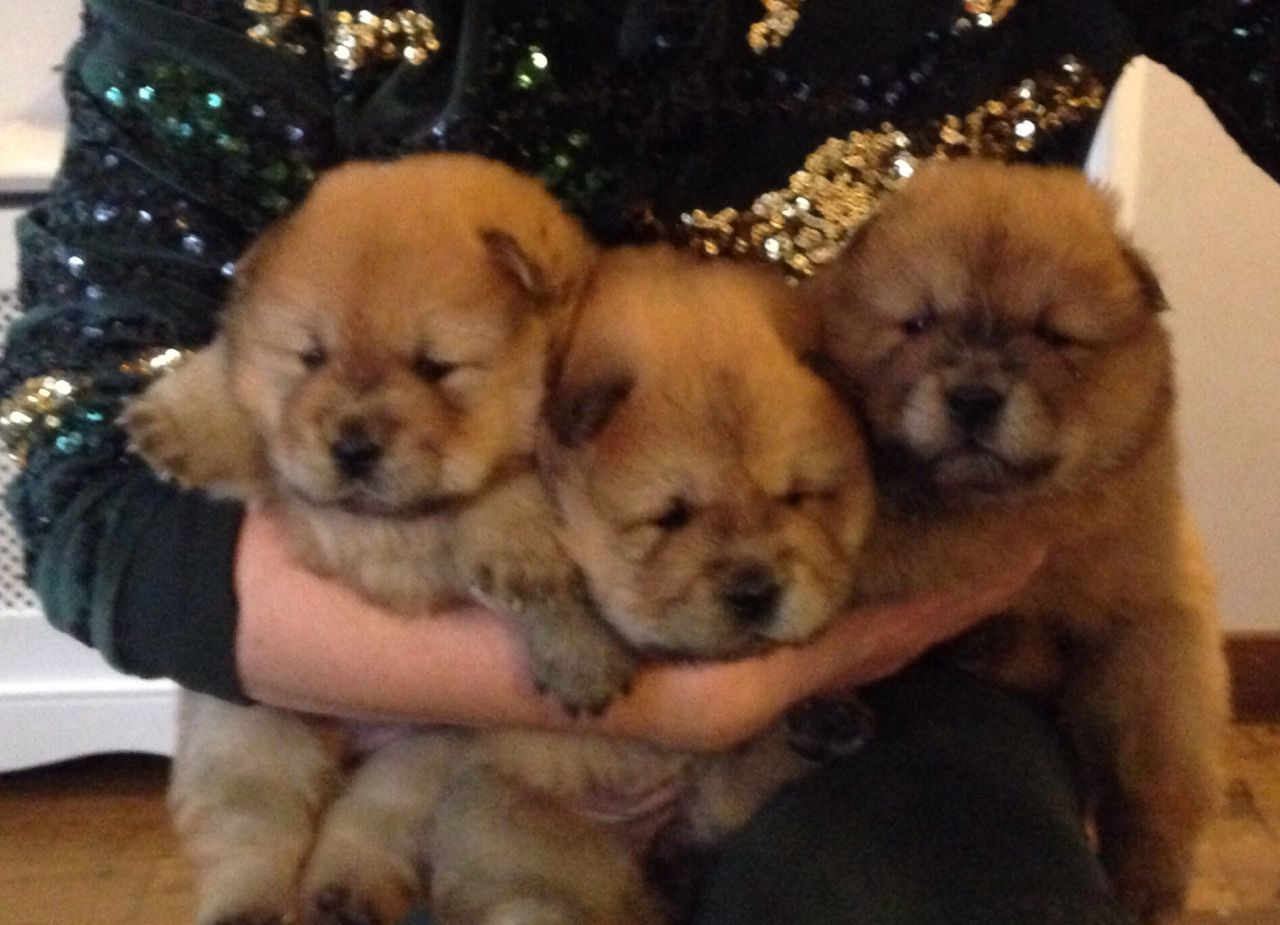 Adorable Kc Registered Chow Chow Puppies This Christmas
