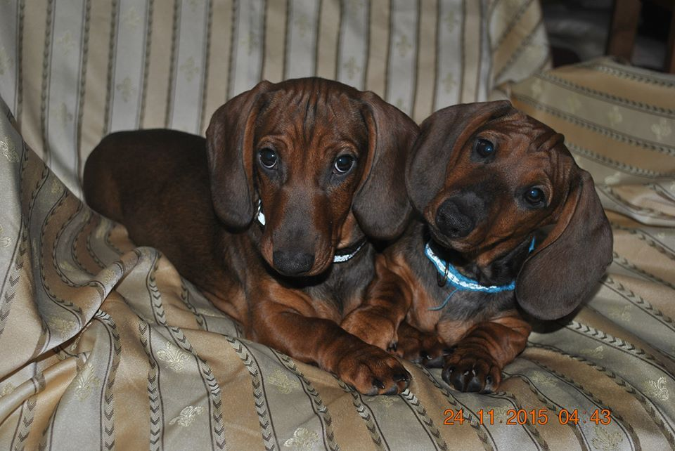 Adorable Kc Registered Dachshunds Puppies This Christmas