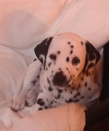 Dalmatian Puppies For Sale This Christmas