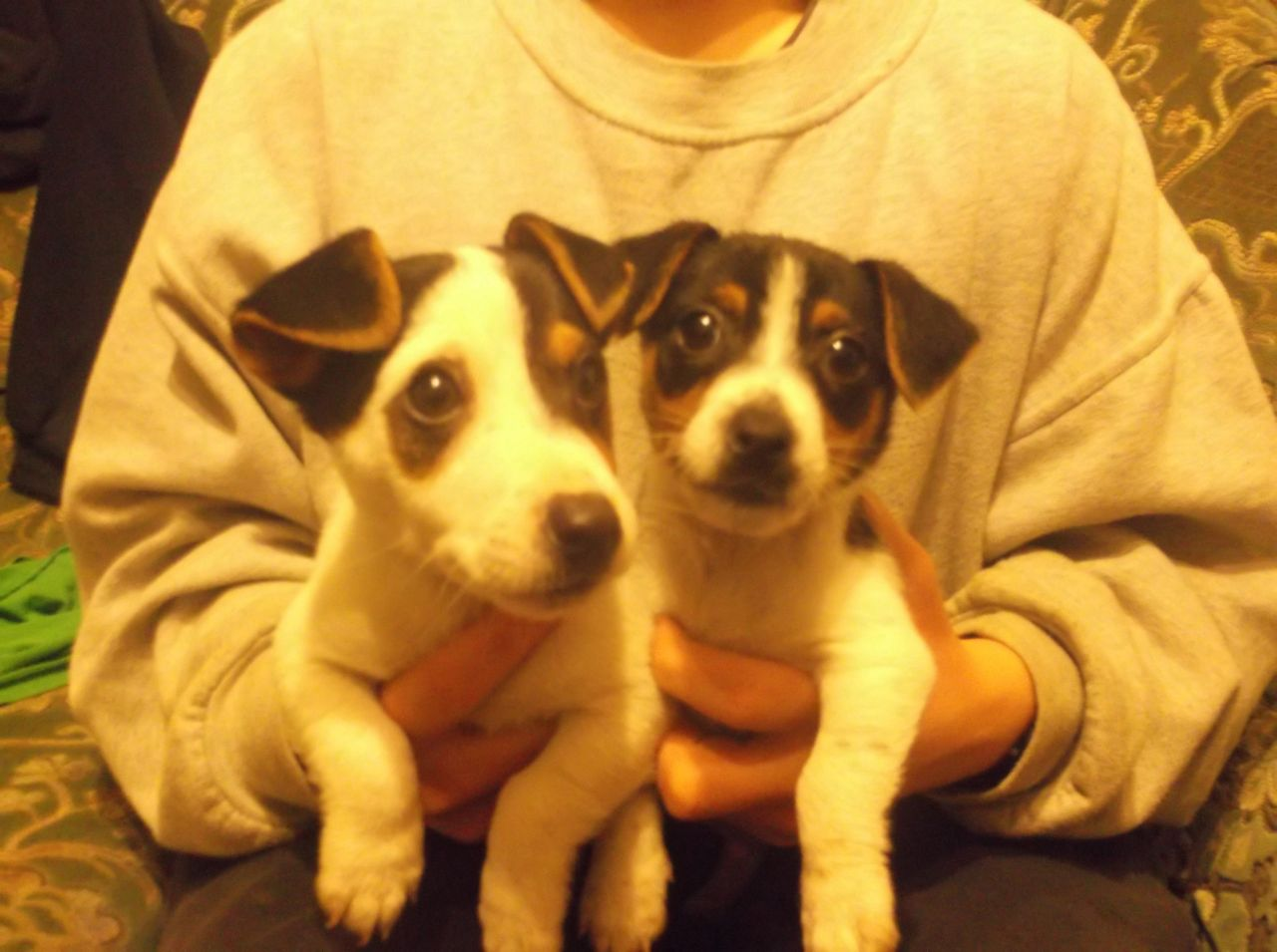 Beautiful Pure Jack Russells Puppies For Sale