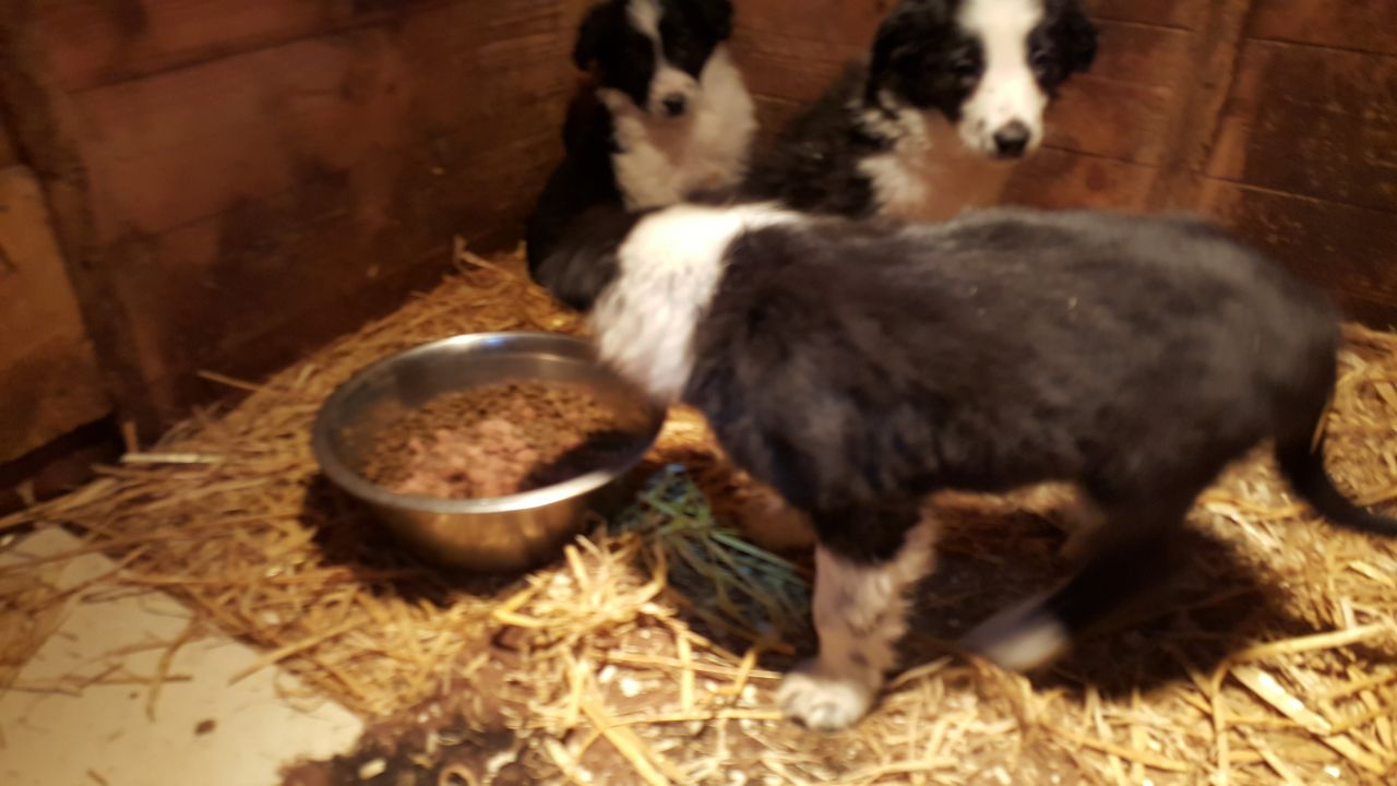 Beautiful Border Collie Puppies