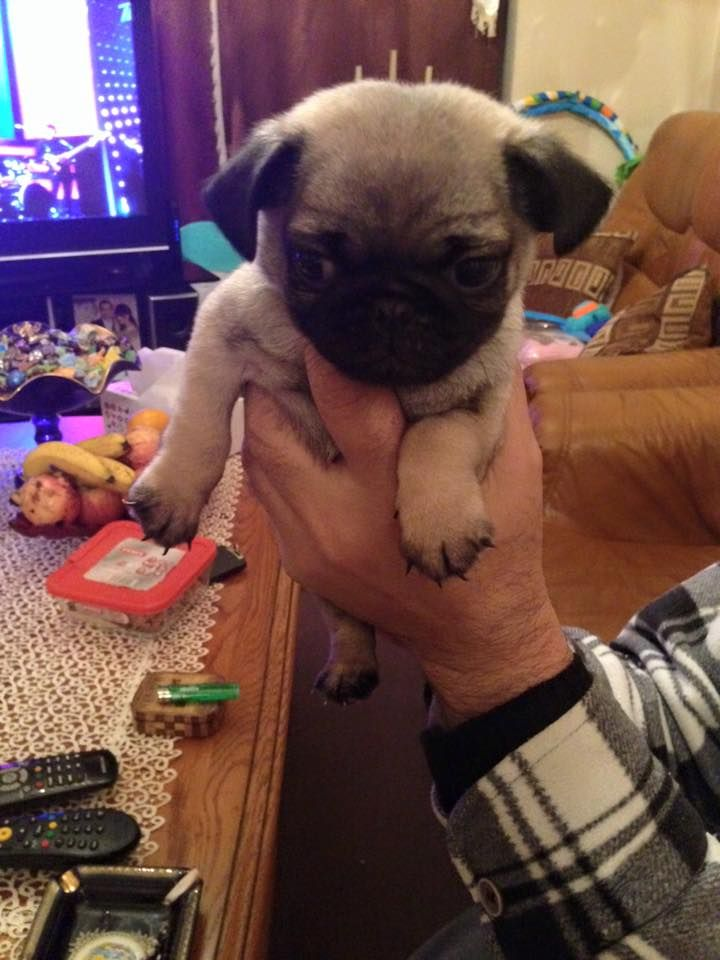 Adorable Beautiful Pug Puppies For Sale